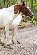 Piebald horse and foal on forest road Stock Photos