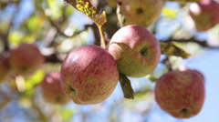 Static Shot: Close up of apples in a tree. Stock Footage