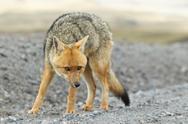 Stock Photo of wild fox