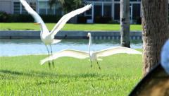 Great Egret bird chased off by another Egret Stock Footage