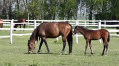 Mare and foal grazing Stock Footage