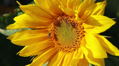 Sunflower swinging on wind with wasps - stock footage