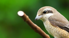 Bird Perching Close up on Twig Stock Footage