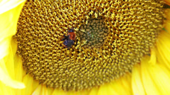 Sunflower close-up view Stock Footage