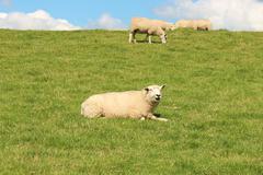 sheep on the dike - stock photo