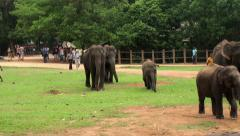 A herd of elephants walking in the Pinnawala Elephant Orphanage. Stock Footage