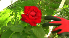 Cutting the rose bushes Stock Footage