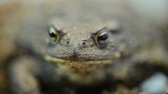 Toad bufo bufo Stock Footage