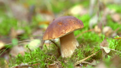 Cep Mushroom Picking Stock Footage