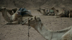 Close shot of camels sitting on sandy grounding Stock Footage