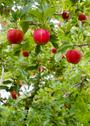 Stock Photo of vertical composition red apples growing eastern washington fruit apple orchar