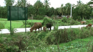 Stock Video Footage of Asian cattle graze alongside a road