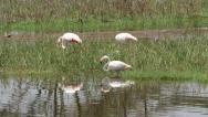 Stock Video Footage of Greater flamingos