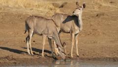 Kudu antelopes drinking Stock Footage