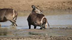 Waterbuck in mud Stock Footage