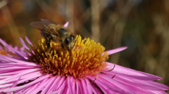 Bee on the flower. Stock Footage