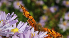 Butterfly. Stock Footage