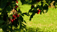 Cherry Tree with Fruits Stock Footage