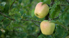 Static Shot: Close up of golden apples. Stock Footage