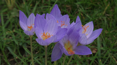 Colchicum autumnale, Autumn crocus blooming in lawn - high angle Stock Footage