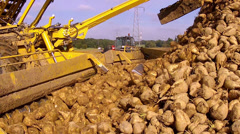 Harvesting of white beet. Stock Footage