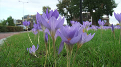 Autumn crocus blooming along roadside - low angle traffic in background Stock Footage