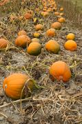 Farm scene halloween vegetable growing autumn pumpkins harvest ready october Stock Photos
