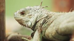 4k Iguana close up shot with red camera. Stock Footage