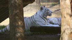 White tigress Stock Footage
