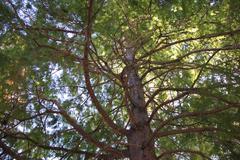 Bald Cypress - stock photo