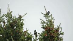 Flock of migratory birds - stock footage