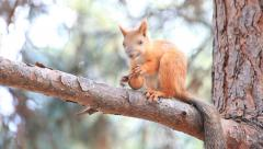 Squirrel sitting on a branch and gnawing a nut Stock Footage