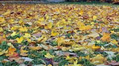 Carpet from fallen down maple leaves. Yellow background Stock Footage