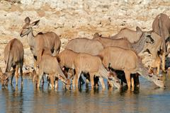 Kudu antelopes drinking - stock photo