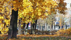 Maple trees in a city park with yellow leaves Stock Footage