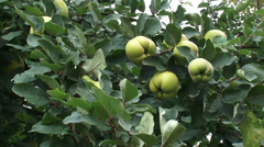 Quince tree - branch with pome fruit , similar in appearance to a pear Stock Footage