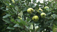 Stock Video Footage of Quince tree - branch with pome fruit , similar in appearance to a pear