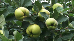 Quince tree, branch with fruit - close up + swift zoom out/in Stock Footage