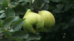 Quince tree, branch with fruit - close up + zoom out Stock Footage
