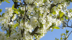 Cherry blossoms Stock Footage