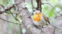 Beautiful bird european robin (erithacus rubecula) Stock Footage
