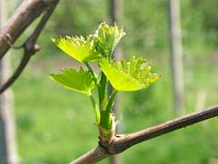 Young green grape sprout. Stock Photos