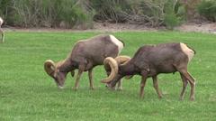 Desert Bighorn Sheep Rams Stock Footage