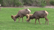 Stock Video Footage of Desert Bighorn Sheep Rams