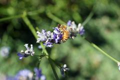 Honeybee collecting pollen from lavender Stock Photos