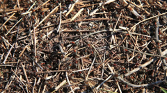 Ants running on an anthill Stock Footage