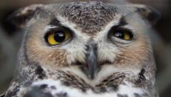 Screech Owl #2 In Super Slow Motion Stock Footage