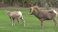 Stock Video Footage of Desert Bighorn Sheep Rutting