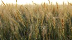 Wheat Crops Field Sunrise HD Stock Footage