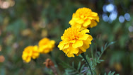 Stock Video Footage of French marigold
